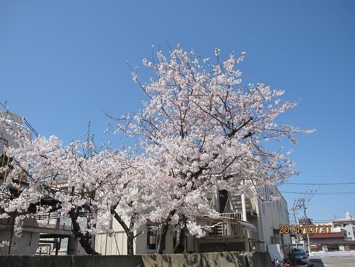 2014年4月に切られる食堂横の桜の木